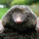 Moles Make a Mountain of Eastside Hill