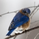 Potential Role for Neighborhood Association in Bluebird Restoration Project