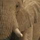 The Eastside Hill Elephant: Fact or Fiction?